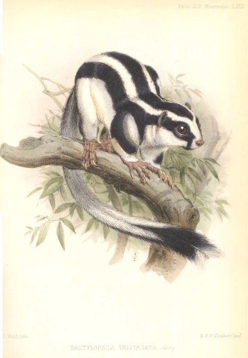 Dactlylopsila trivirgata, the striped possum of the Aru Islands.