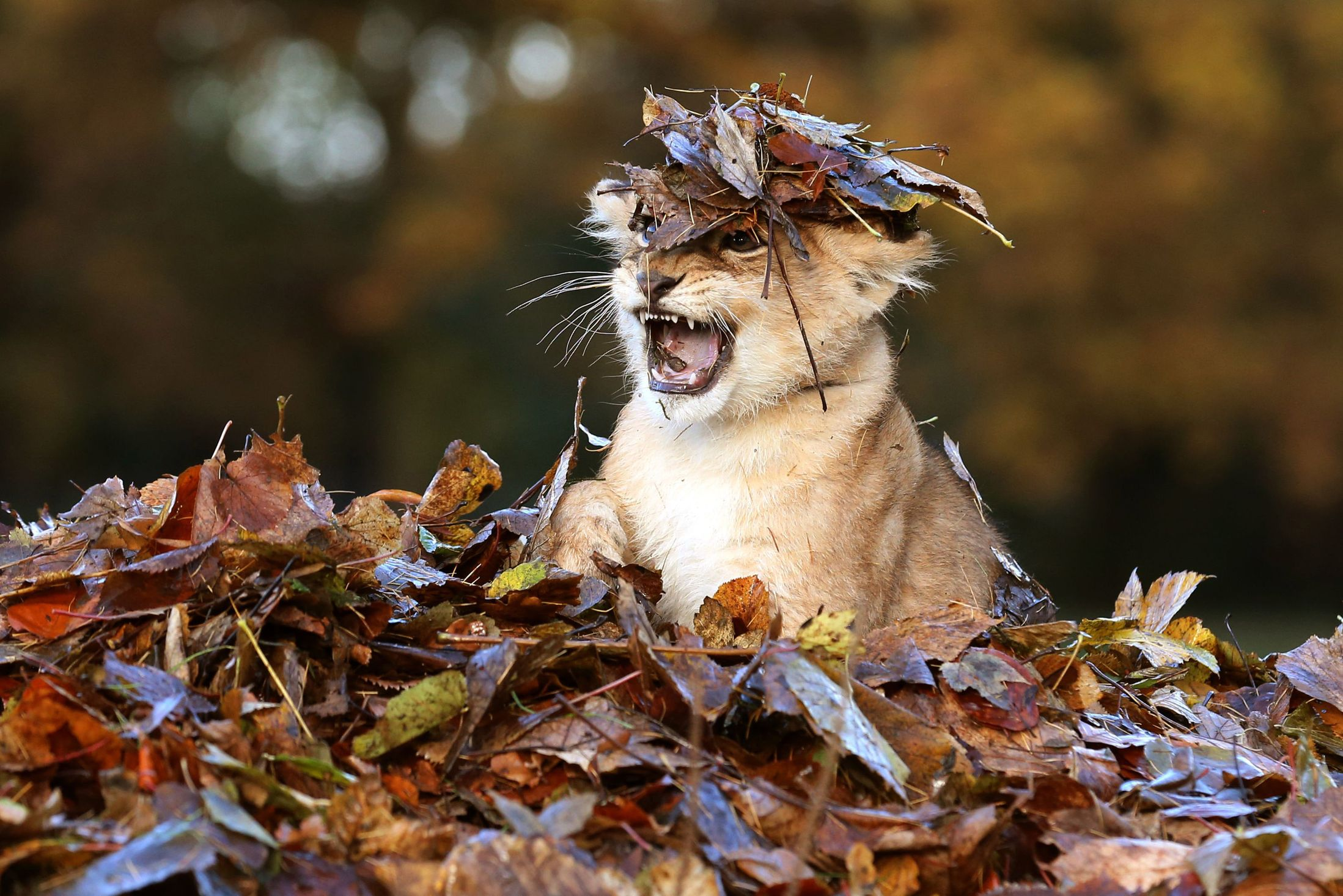 Karis-an-eleven-week-old-lion-cub-plays-in-fallen-leaves ...