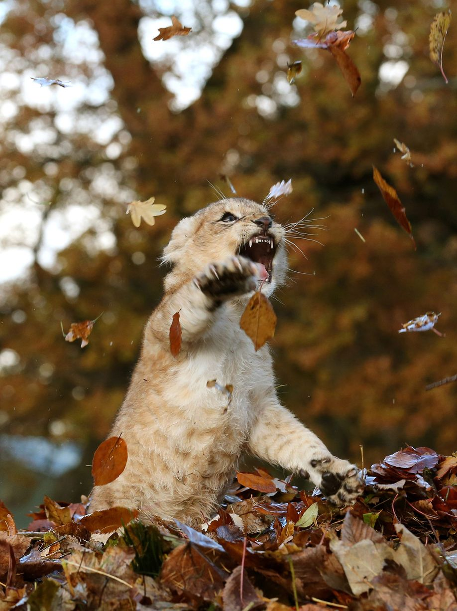 Cubs on view in d c and a lion cub plays with leaves 171 why
