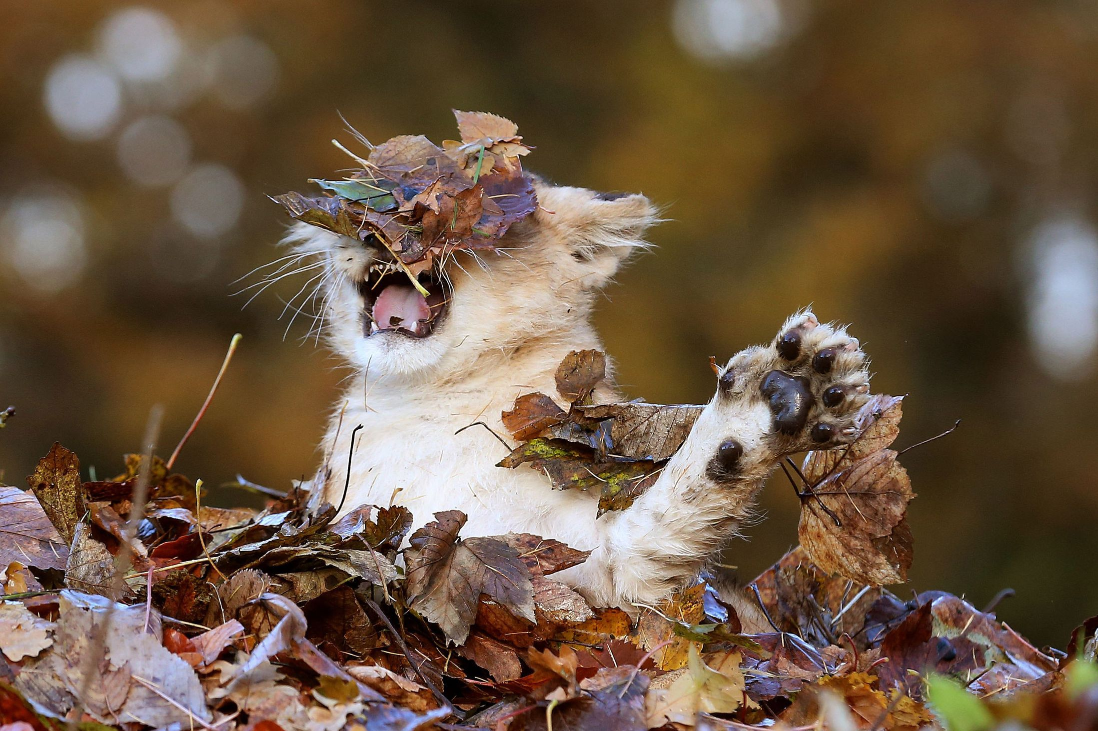 Image result for cat playing in leaves