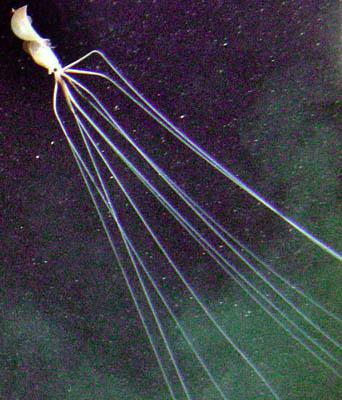 LongArmSquid