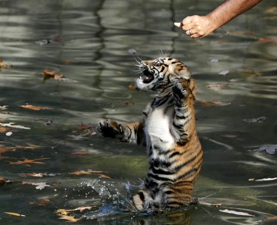 Male Sumatran tiger cub Bandar is tossed into a moat by Smithsonian National Zoo curator of great cats and bears Craig Saffoe for a swim test in Washington, ...