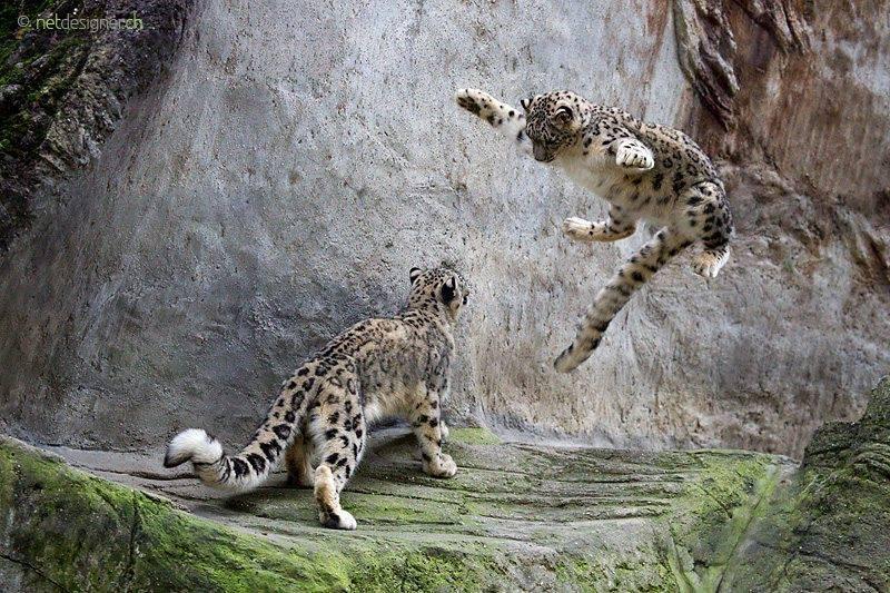 Pics For > Snow Leopard Pouncing