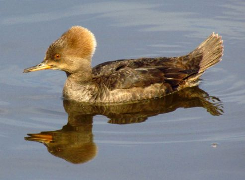 800px-Hooded_Merganser,_female