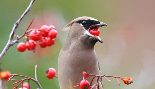 Image result for cedar waxwing