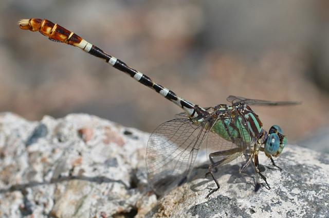 Erpetogomphus lampropeltis_Seven Springs 8-9-08_5779