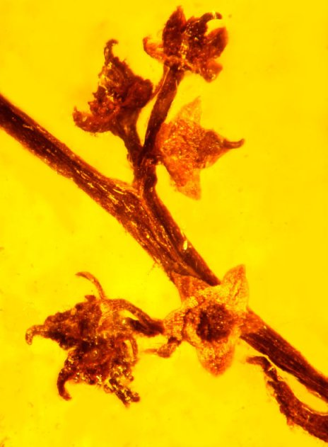 image_1660_1-Micropetasos-burmensis