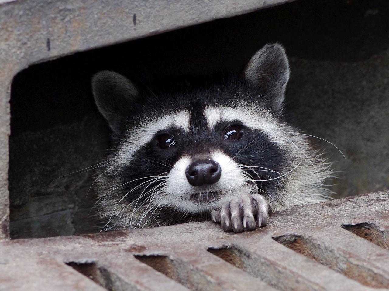 raccoon uses storm drain as safe house 2 why evolution