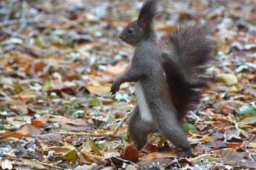 Strutting squirrel