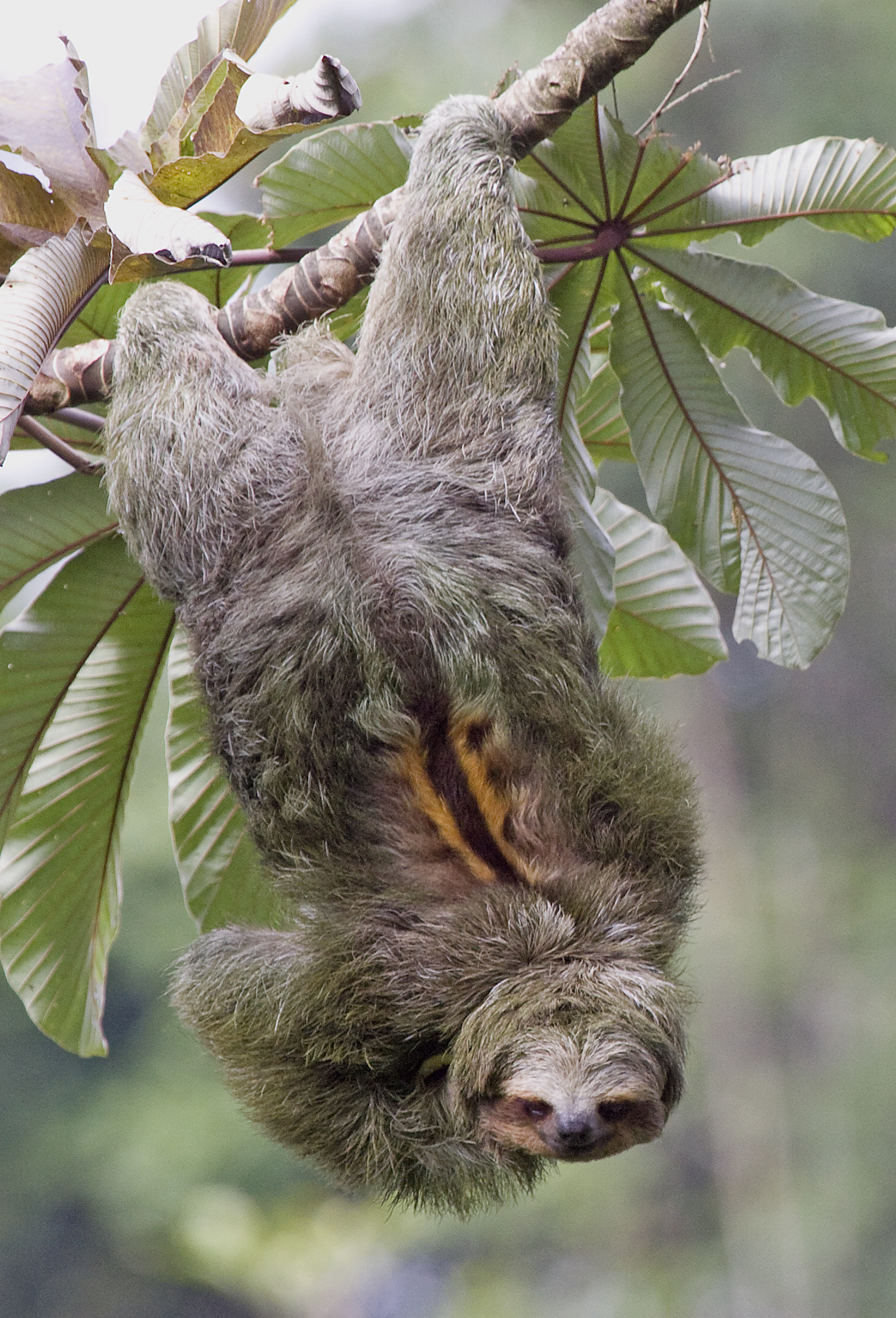 the three toed sloth essay Of the two families of sloths found in costa rica, the bradypus variegatus (three-fingered sloth) is the more familiar to most people—like our buttercup.