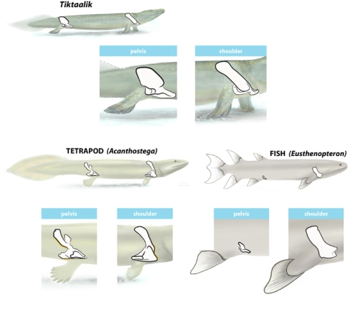 Comparison of the girdles of Tiktaalik to those of Eusthenopteron  (a 'standard' lobe finned fish) and Acanthostega (one of the earliest known amphibians)