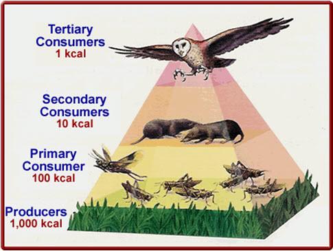 Trophic pyramid.