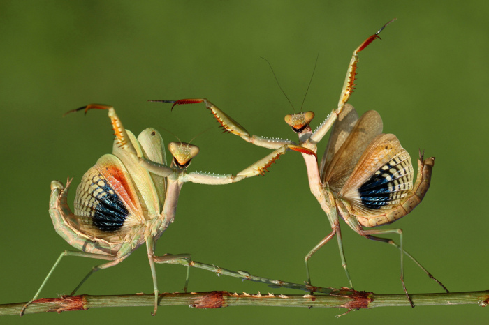 Just two praying mantises looking awesome (© Hasan Baglar, 2014 Sony World Photography Awards)