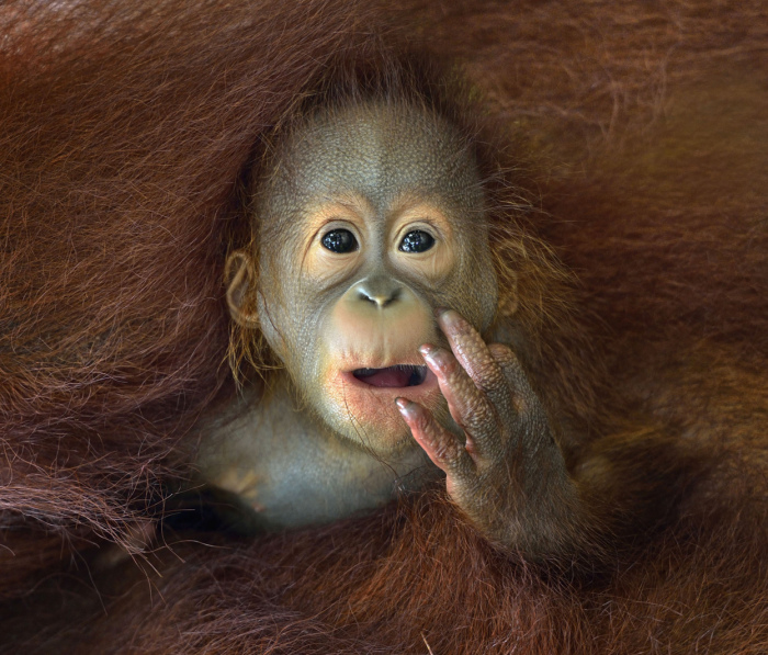 A wide-eyed baby Orangutan takes in the new world around him from the safety of mom's embrace. (© Chin Boon Leng, 2014 Sony World Photography Awards)