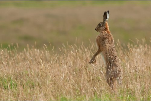 Brown hare by Stuart Scott.