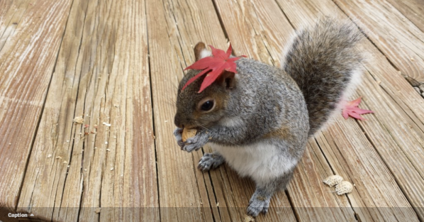'Rocky Rocking the Red Leaf' This little squirrel is wearing its Easter bonnet in this photo by Melissa Leone.  /Melissa Leone