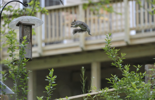 "'Flying Squirrel' Photographer Yvonne Landis wrote, ""This squirrel was taking a flying leap from a nearby fence post to get to the woodpecker feeder. He had made two previous attempts, giving me time to grab my camera. He did stick the landing on this jump."""