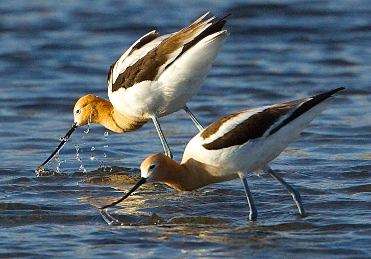 Avocets, feeding