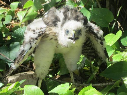 Defiant baby hawk, Fort Myers, Fla., May 2014.