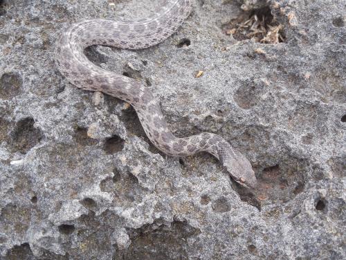 Clarion nightsnake (Hypsiglena ochrorhyncha unaocularis) on Clarion Island by Daniel Mulcahy.