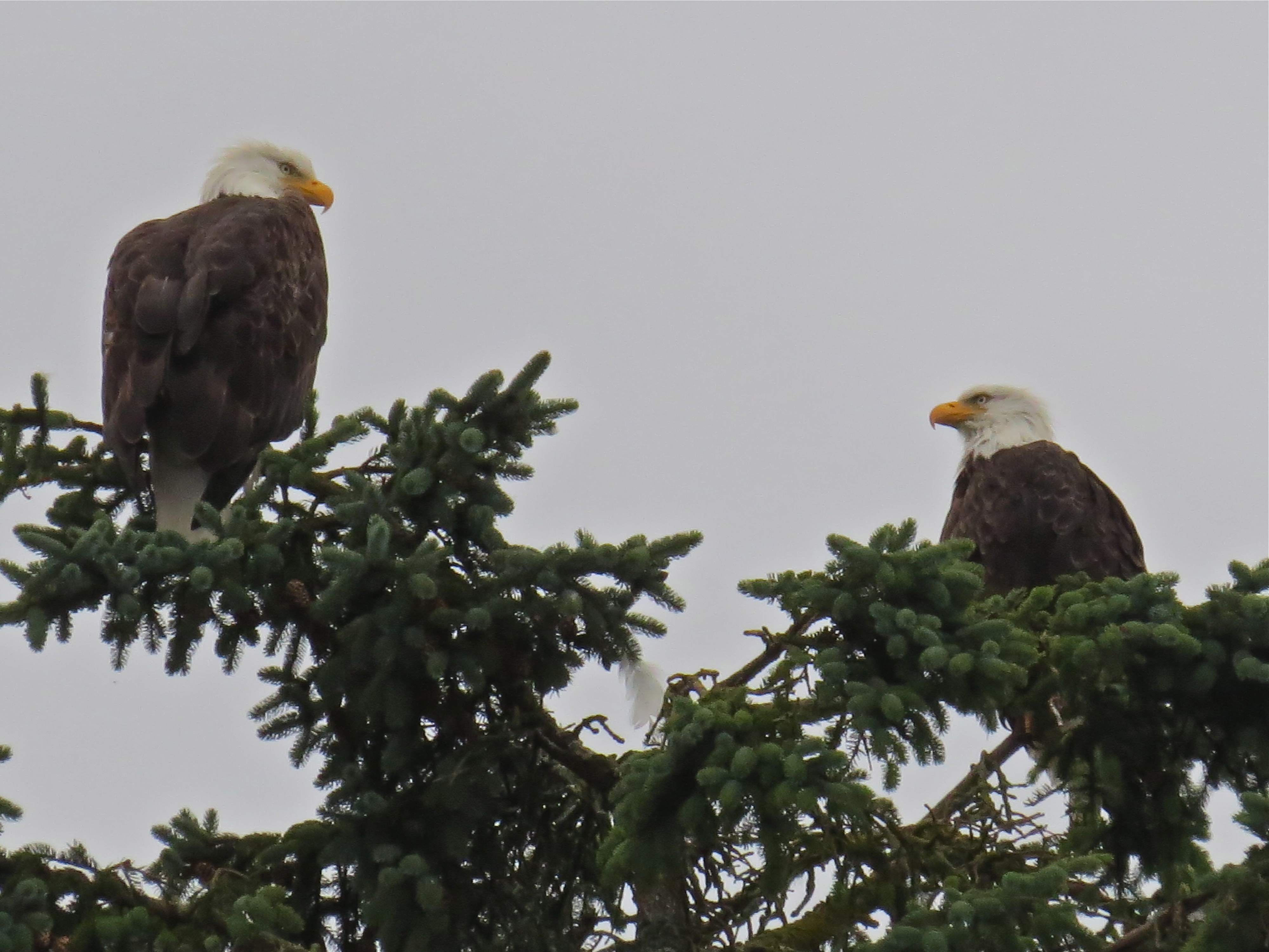 evolution of bald eagles Distinct and extinct: genetic differentiation of the hawaiian eagle  although an increased sampling of bald eagles is warranted to  independent evolution of.