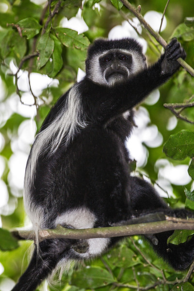 black & white colobus staring down from tree-L