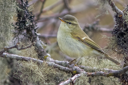 Greenish_Warbler_Sikkim_India_11.05.2014