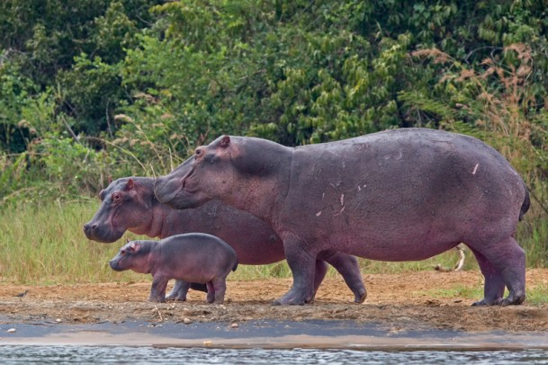 happy hippo family-L