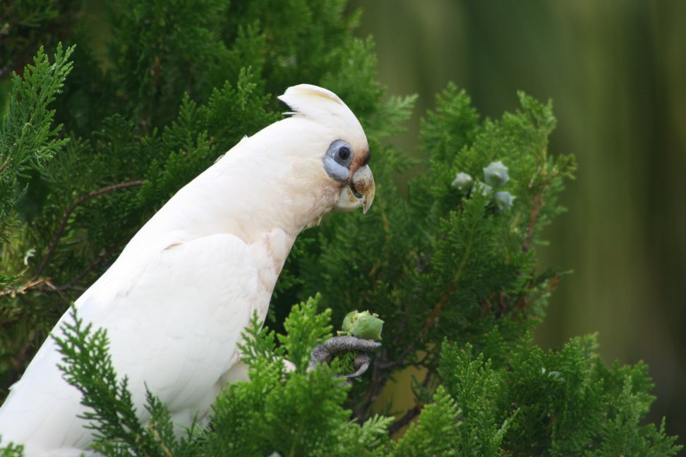 Chelsea Was That A Man: Little Corella « Why Evolution Is True
