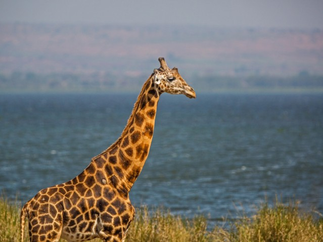profile of giraffe against Nile-L