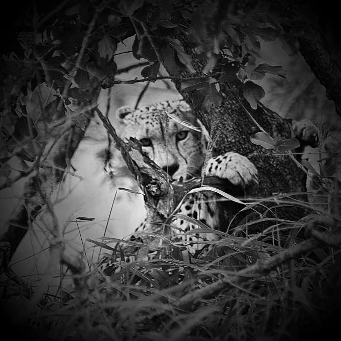 2004-12-19_Kruger National Park_Cheetah_Coyne-0002
