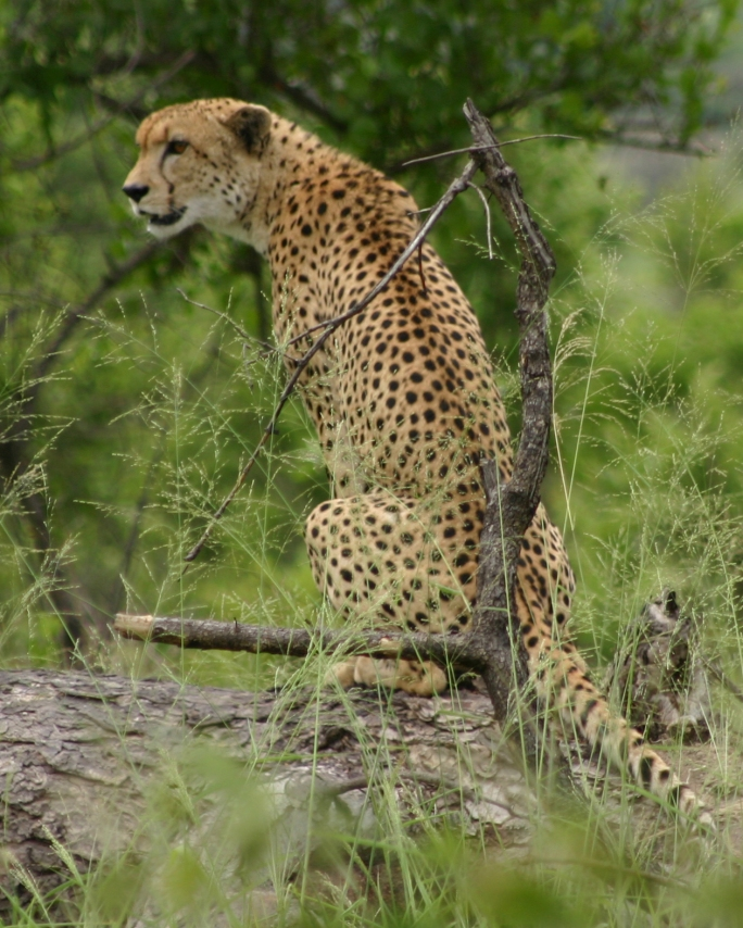 2004-12-19_Kruger National Park_Cheetah_Coyne-0005
