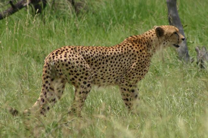 2004-12-19_Kruger National Park_Cheetah_Coyne-0006