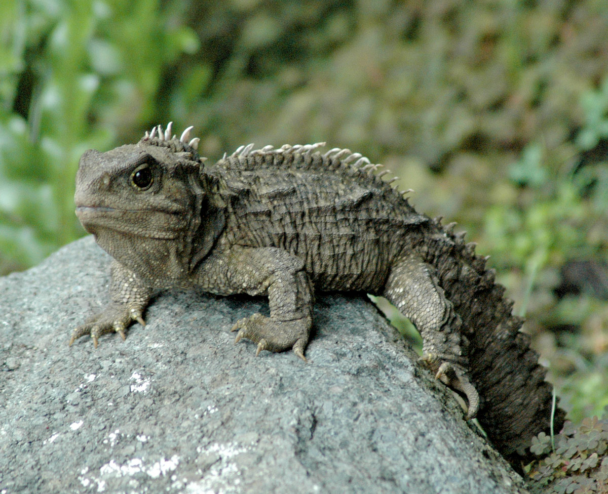 Rare Footage A Baby Tuatara Enters The World Why Evolution Is True