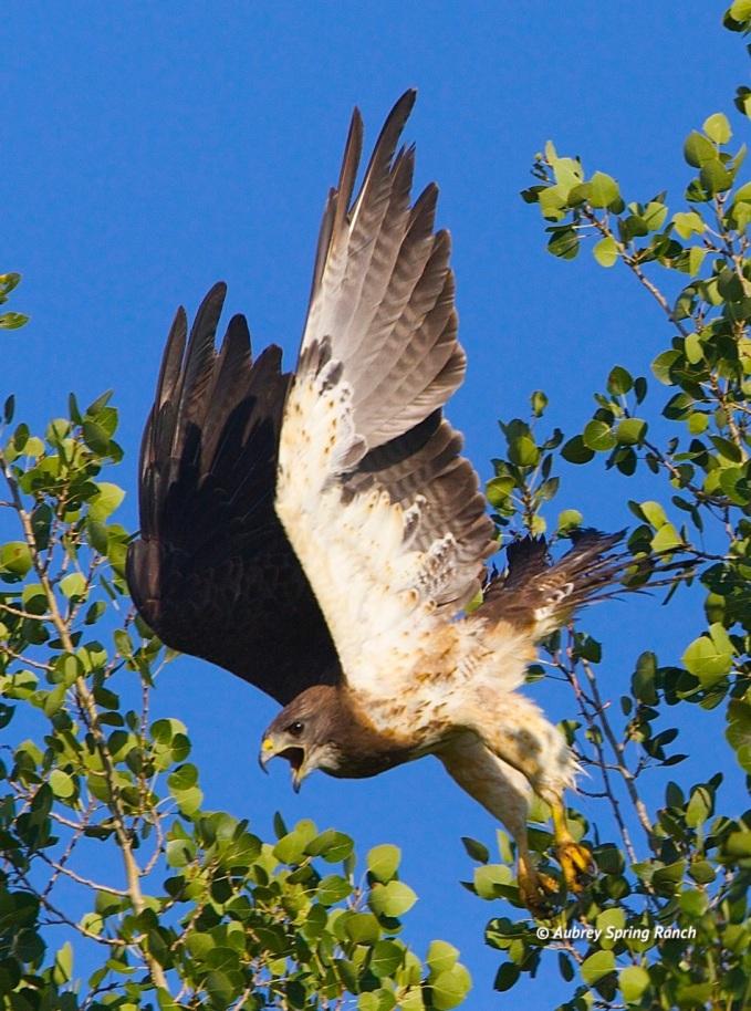 Barnard Swainsons Hawk