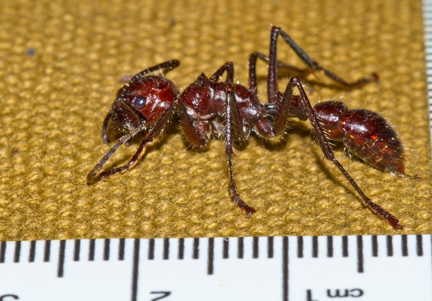 The Worst Pain Known To Humans The Bullet Ant Gloves Of Brazil