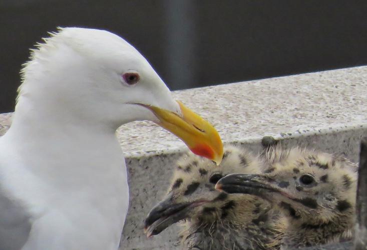 GW Gulls at Tsawwassen