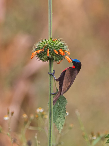 iridescent crown on scarlet-chested sunbird-L
