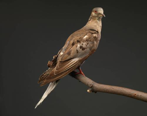 Martha, the last passenger pigeon, by Carl Hurlbert, USNM.