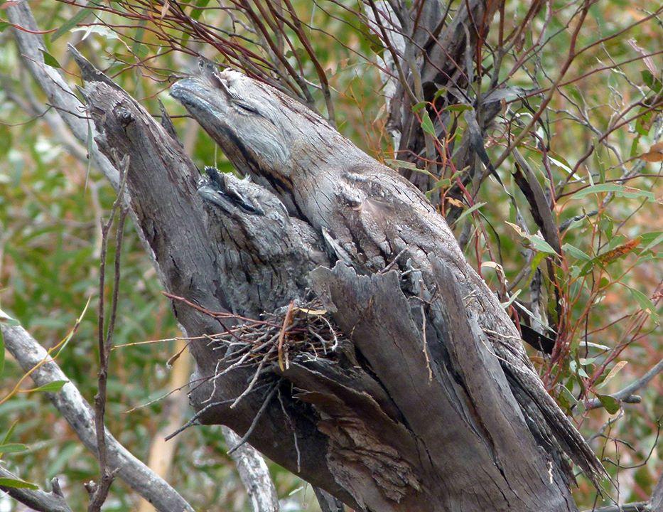 tawny-frogmouths.jpg