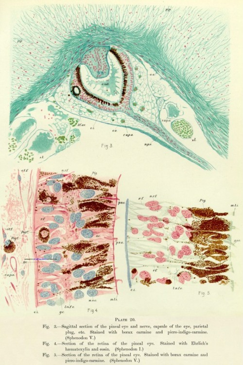 The parietal eye of the tuatara (Plate 20 from Dendy, 1911).