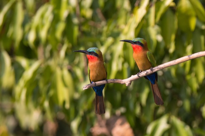 two red-throated bee-eaters Murchison-L