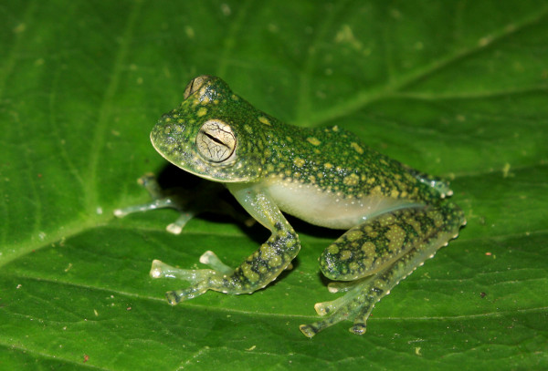 four new see through frogs from peru why evolution is true