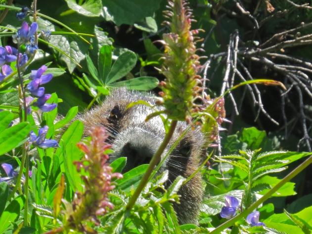 Hoary Marmot spying