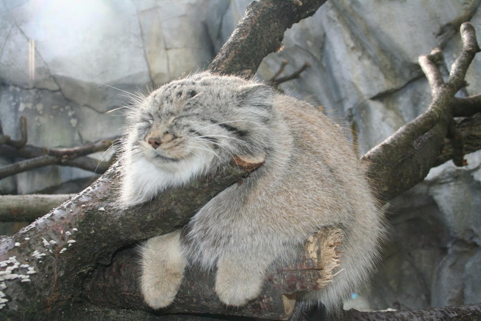 buff color cat