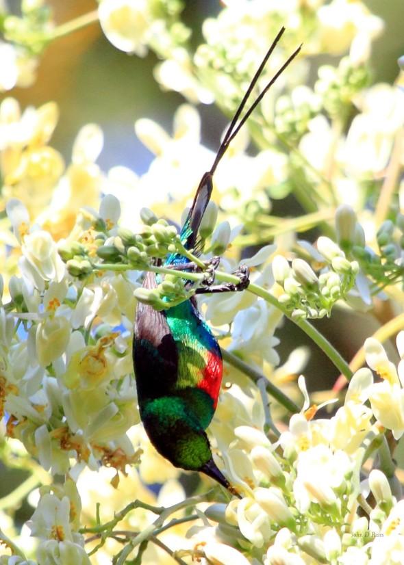 1 Beautiful Sunbird