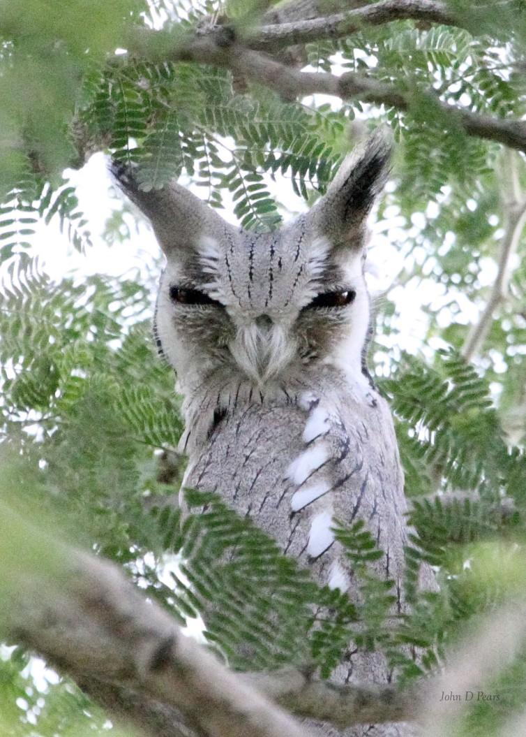 10 African Scops Owl