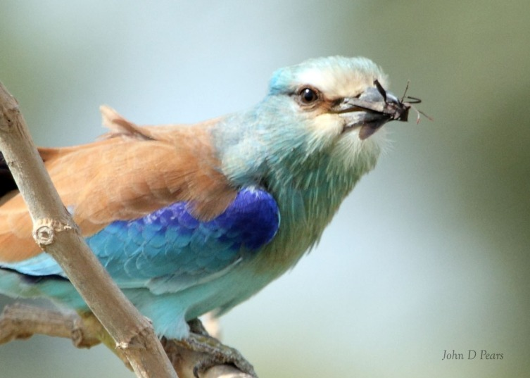 11 Abysynian roller