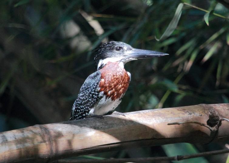 12 Giant Kingfisher