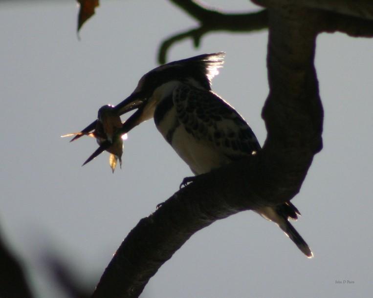 13 Pied kingfisher